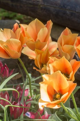 Tulipa batalinii Bronze Charm
