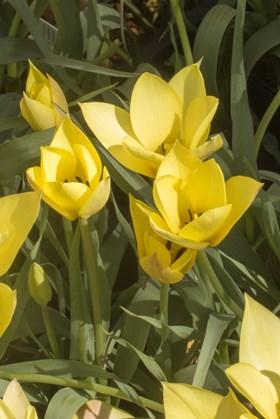 Tulipa batalinii Honky Tonk