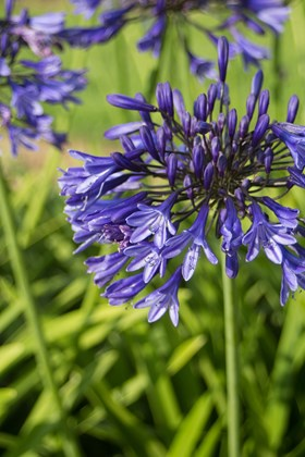 A Collection of Agapanthus