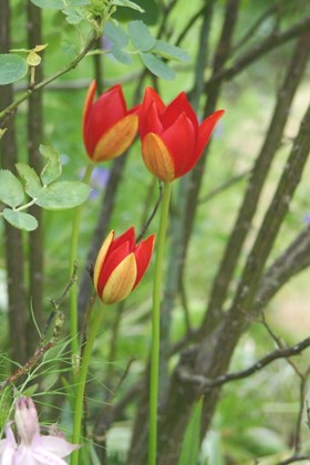 Tulipa sprengeri (Seeds)
