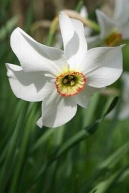 Narcissus poeticus var recurvus (13)