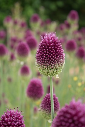 Allium Collection (4)