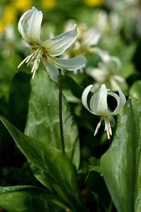 Erythronium White Beauty