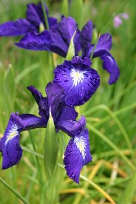 Iris latifolia King of the Blues