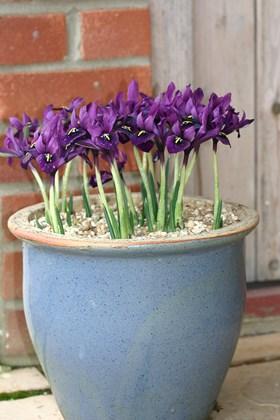 Iris histrioides George