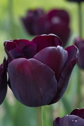 Tulipa Paul Scherer