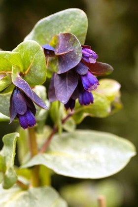"Cerinthe major ""Purpurascens"" (Seeds)"