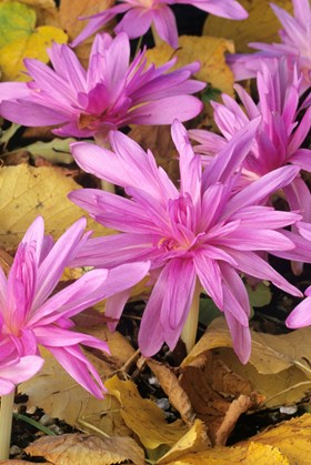 Colchicum Water Lily