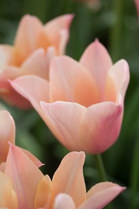 Tulipa Sanne