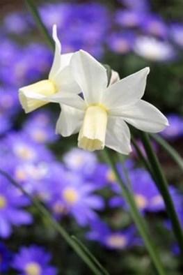 Narcissus Toto