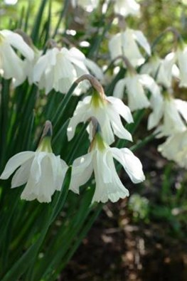 Narcissus moschatus