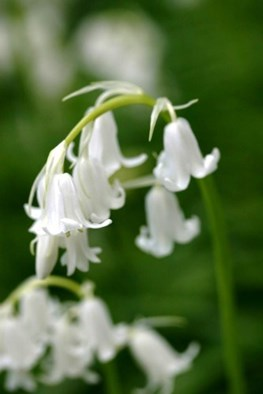 Hyacinthoides non scripta alba