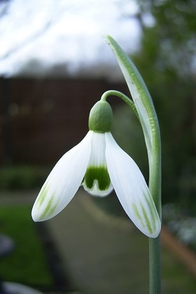 Galanthus Cornwood