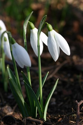 Dormant Snowdrop Collection No 2 (5)