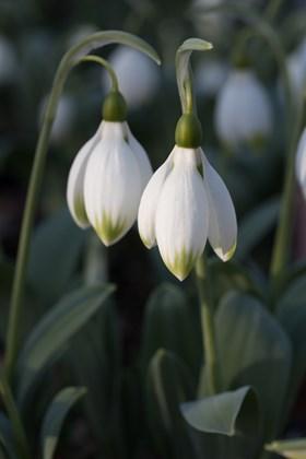 Galanthus Marlie Raphael