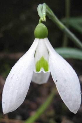 Galanthus Myddelton Giant