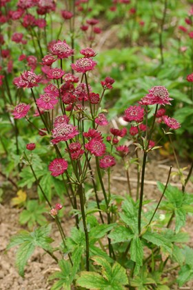 Astrantia Gill Richardson