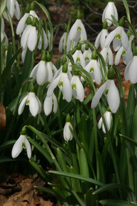 Galanthus Chedworth