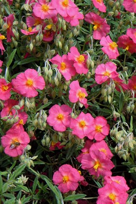 Helianthemum Georgeham