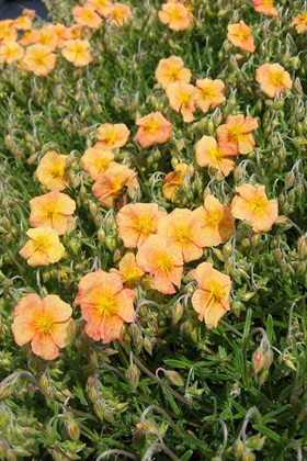 Helianthemum Shot Silk
