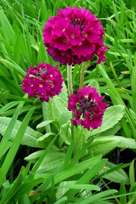 Primula denticulata Red