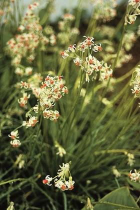 Tulbaghia acutiloba