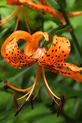Lilium tigrinum splendens (lancifolium)