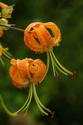 Lilium henryii