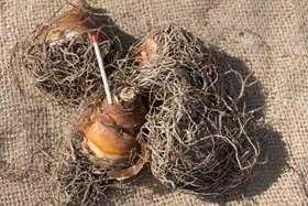 Eucomis zambeziaca