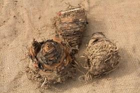 Eucomis comosa (dark stemmed)