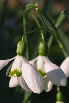 Galanthus Little Magnet