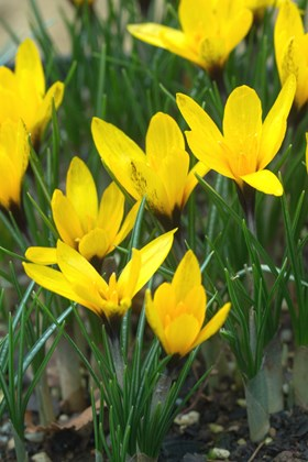 Crocus korolkowii January Gold