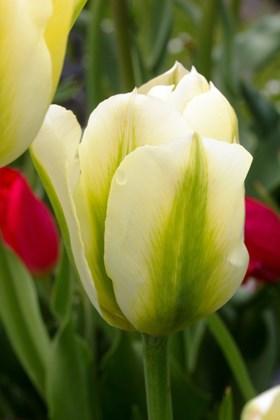 Tulipa Spring Green