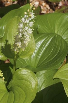 Maianthemum bifolium var. kamtschaticum