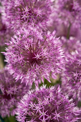 Allium Early Emperor