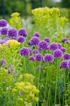 Allium His Excellency