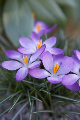 Crocus tommasinianus Whitewell Purple