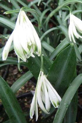 Galanthus Alburgh Claw