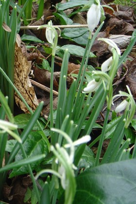 Galanthus Finger in the Dyke