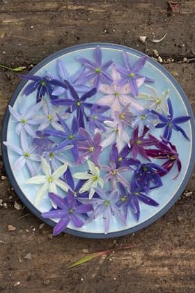 Camassia leichtlinii Avon's Stellar hybrids