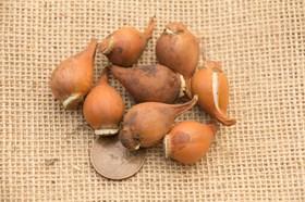 Tulipa humilis Persian Pearl