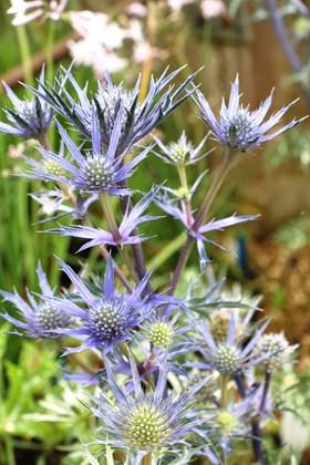 Eryngium x bourgatii Picos Blue