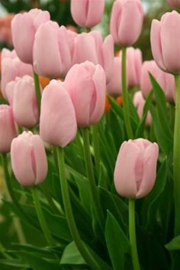 Pink Tulip Collection (4)