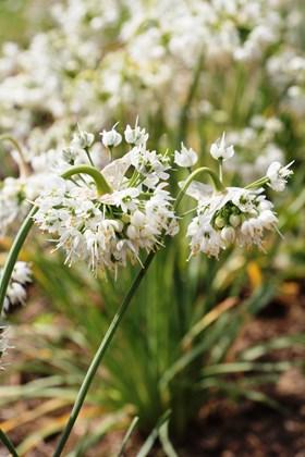 Allium cernuum White Master