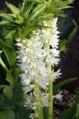 Eucomis zambeziaca (autumnalis)