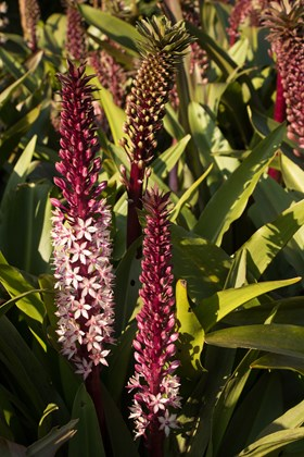 Eucomis comosa (our dark stemmed selection)