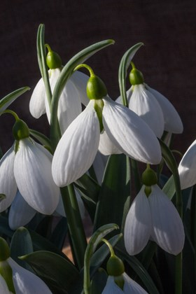 Galanthus Moortown Mighty