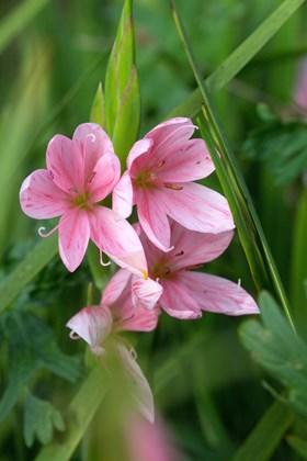 Hesperantha coccinea Mollie Gould
