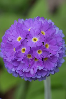 Primula denticulata Purple