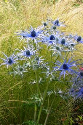Eryngium x zabelii Pen Blue